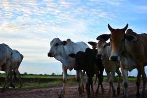 大自然にいる牛